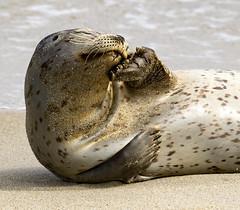 18A_1277-Edit-2 (Mark Ritter) Tags: seal seals macro lajolla california