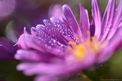 (Sandra Király Pictures) Tags: astereae asteraceae flower flowers makro macro autumn nature outdoor