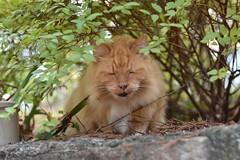 I could have used a recording system here. (rootcrop54) Tags: madison longhaired longhair orange tabby male cat neighbor intimidating camillesspot neko macska kedi 猫 kočka kissa γάτα köttur kucing gatto 고양이 kaķis katė katt katze katzen kot кошка mačka gatos maček kitteh chat ネコ