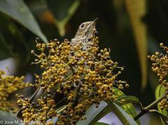1-TITAN DE LA MIGRACION! El zorzalito de Swainson, es una especie de ave paseriforme de la familia Turdidae. Cría en el norte y oeste de América del Norte e inverna en América Central y América del Sur hasta Argentina. (Cimarrón Mayor 15,000.000. VISITAS GRACIAS) Tags: ordenpasseriformes familiaturdidae génerocatharus zorzalitodeswainson tordodeespaldaolivada tordoolivo zorzalboreal zorzalbuchipecoso zorzalchico zorzaldeanteojos zorzaldeswainson zorzalolivado zorzalustulado zorzalustulato zorzalitoboreal zorzalitoquemado nombrecientificocatharusustulatus nombreeninglesswainsonsthrush lugardecapturahostalsanantonio mocoadeputumayo colombia ave vogel bird oiseau paxaro fugl pássaro птица fågel uccello pták vták txori lintu aderyn éan madár cimarrónmayor panta pantaleón josémiguelpantaleón objetivo500mm telefoto700mm 7dmarkii canoneos canoneos7dmarkii naturaleza libertad libertee libre free fauna dominicano pájaro montañas