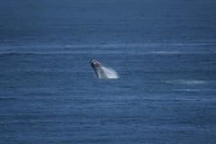 DSC01634 (derek_2001) Tags: rightwhale whale dekelders breach