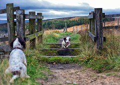 The Onlooker (Missy Jussy) Tags: rupert rupertbear razzle razzledazzle roxbergrazzle englishspringer springerspaniel spaniel dog dogwalk pets animal mansbestfriend malespringerspaniel outdoor outside cromptonmoor moors shaw oldham northwest 50mm ef50mmf18ll ef50mm canon50mm fantastic50mm canon5dmarkll canon5d canoneos5dmarkii canon littledoglaughedstories