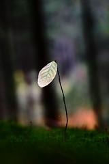 One (Gr@vity) Tags: leaf blatt herbstblatt laub eosr rf24105 canon nature autumn herbst fall beyondbokeh dof bokeh