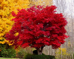 Dear Colorado, This Is What Fall Looks Like In Ohio (Eat With Your Eyez) Tags: panasonic fz1000 tree maple red yellow living plant beautiful nature autumn fall foliage height of color akron ohio summit county cemetery burial park rose hill