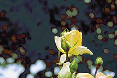 Yellow Rose (maginoz1) Tags: flowers roses abstract pink yellow white contemporary art manipulate curves november 2018 bulla alisterclarkrosegarden melbourne victoria australia canon g3x