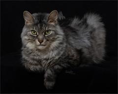Giz (Rainfire Photography) Tags: cat tabby ragdoll mix silver portrait pet kitty studio nikon