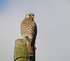Kestrel (1) - Taken at Summer Leys Nature Reserve, Nr Wollaston, Northants. UK. (Ian J Hicks) Tags: