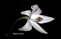 Lirio Nocturno/Night Lily (Altagracia Aristy Sánchez) Tags: lirio lily repúblicadominicana dominicanrepublic lirionocturno nightlily laromana quisqueya caribe caribbean caraibbi antillas antilles trópico tropíc américa fujifilnmfinepixhs10 fujifineixhs10 fujihs10 nightblooming