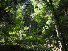 732 Camí de la Ribera - 03 (e_velo (εωγ)) Tags: 2018 catalunya cerdanya summer estiu verano forest bosques boscos trees árboles arbres