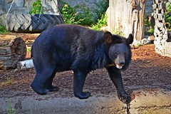 black bear :) (green_lover (I wait for your COMMENTS!)) Tags: bear animals mammals fauna zoo wrocław poland black