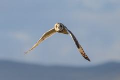 Short Eared Owl (Dougie Edmond) Tags: owl bird prey raptor nature wildlife