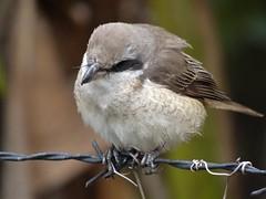 DSC03815 (phenixliu68) Tags: shrike bird nature 紅尾伯勞 伯勞 候鳥 動物 戶外 野生 生態攝影