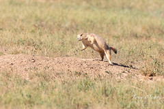 Prairie Dog surprised by the ferret in its burrow