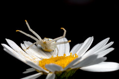 Argh! Look At My Feet. They Are All Dirty Now! Pt. 2 - _TNY_4882 (Calle Söderberg) Tags: macro canon canon5dmkii canoneos5dmarkii 5d2 canonef100mmf28usmmacro raynox dcr250 blackbackground spider spindel krabbspindel blomkrabbspindel crabspider flowercrabspider goldenrodcrabspider thomisidae misumena vatia daisy oxeyedaisy leucanthemum vulgare prästkrage yellow white raisedlegs hugs freehugs dirtyfeet pollen flower chameleon raised threat stubble f27 araneae arachnida