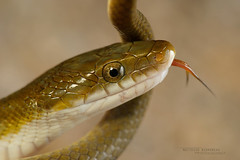 Senticolis triaspis (Matthieu Berroneau) Tags: trip mexique mexico sony alpha macro nature france herpéto wildlife animal animaux ff 24x36 full frame a7ii 7ii 7mk2 sonyilce7m2 herping herpeto reptile reptilian reptilia serpent serpente snake serpentes snakes serpiente field serpents sonya7ii sonya7mk2 sonyalpha7mark2 sonyalpha7ii 90 28 fe f28 g oss fe90f28macrogoss sonyfesonyfe2890macrogoss objectifsony90mmf28macrofe sel90m28g herpmex senticolis triaspis senticolistriaspis green ratsnake greenratsnake rat culebra ratonera culebraratonera