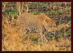 LEOPARD (Panthera pardus) ...MASAI MARA.....SEPT 2018 (M Z Malik) Tags: nikon d3x 200400mm14afs kenya africa safari wildlife masaimara keekoroklodge exoticafricanwildlife exoticafricancats flickrbigcats leopard pantheraparduc ngc npc