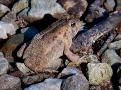 Tiny Toad (~~Chuck's~~Photos~~) Tags: chucksphotos toads closeups naturephotos outdoors hiking mammothcavenationalpark exploringkentucky ourworldinphotosgroup earthwindandfiregroup photosthruyourlensgroup solidarityagainstcancergroup canonsx60