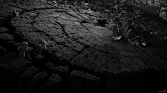 La souche (Un jour en France) Tags: monochrome souche champignon canoneos6dmarkii canonef1635mmf28liiusm noiretblanc noiretblancfrance arbre forêt