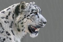 Schneeleopard oder Irbis (Panthera uncia) (wb.fotografie) Tags: schneeleopard groskatze raubtier snowleopard bigcat predator