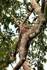 Great Potoo (btrentler) Tags: panama birding bird grandis nyctibius potoo great