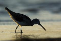 Kwokacz/Common greenshank #4 (mirosławkról) Tags: wild wildlife animal bird nature nikonnaturephotography 150600 greenshank sea water beach blue wave orange orangeandblue