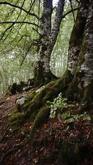 (the real duluoz) Tags: selva de irati navarra bosque