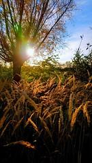 SUNN O)) CTOBER (novaexpress93) Tags: novaexpress93 sun nature tree heath backlight grass plants october fall autumn light