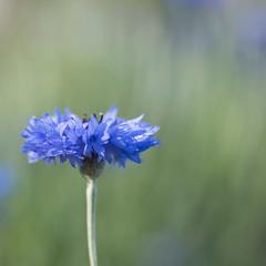 Encore un bleuet (Titole) Tags: cornflower squareformat shallowdof titole nicolefaton blue