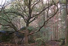 Oak tree (Cosmo_Solomon) Tags: om2n