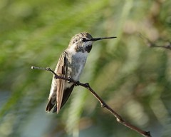 2018-09-28 Green Valley, AZ 10 (JanetandPhil) Tags: 20180910artxaznmvacation birds nikon nikkor d800 800mmf56 greenvalleyaz costashummingbird calyptecostae