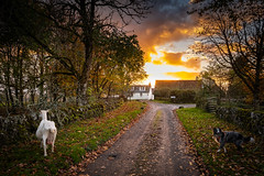 The Goat and the Collie (Rob Sutherland) Tags: goat walk fujifilm xt3 fujinon 1855 farm farming animal livestock road track lane agriculture agricultural sunset buildings traditional wall light tree rural scene postcard gartur dykehead menteith stirling stirlingshire scotland white collie border blue merle