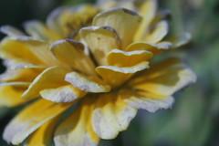 In a dream (Daria Kucharczyk) Tags: flowers art bokeh blur petals flower yellow nature closeup canon green macro