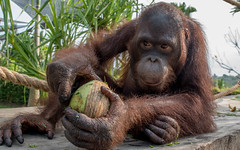 Breakfast with orangutan (tomaszbaranowski007) Tags: indonesia bali cute love eye portrait happy breakfast zoo dier orangutan animal