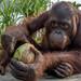 Breakfast with orangutan