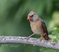 Northern Cardinal (F) (Bill McDonald 2016) Tags: branch perched perching cardinal female northerncardinal common ontario canada 2018 october billmcdonald wwwtekfxca green fall autumn