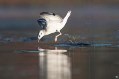 ''Gravité!'' Mouette de bonaparte-Bonparte's gull (pascaleforest) Tags: oiseau bird animal passion nature nikon wild widlife faune québec canada lignt lumière kayak automne