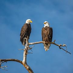 Together (CTfotomagik) Tags: baldeagle birdofprey raptor perched pair tree wildlife nationalsymbol usa northerncolorado windsor larimercounty explore