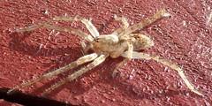 Anyphæna accentuata (Walckenær 1802) ♀ (Araneæ Anyphænidæ Anyphæninæ Anyphænini) (Elena Regina) Tags: anyphaena ♀ araneae anyphaenidae anyphaeninae anyphaenini anyphaenaaccentuata spider animalia arthropoda arachnida