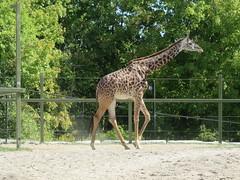 Masai Giraffe 1 (D. S. Hałas) Tags: halas hałas canada ontario yorkcounty toronto scarborough torontozoo chordata sarcopterygii mammalia artiodactyla cetartiodactyla giraffidae giraffacamelopardalis giraffacamelopardalistippelskirchii masaigiraffe giraffe