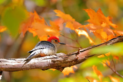 Perched on Fall Colors... (Daniel Q Huang) Tags: woodpecker birds outdoor trees woods foliage fall colors