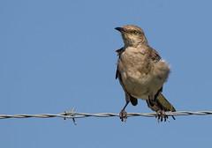 Northern Mockingbird (Lynn Tweedie) Tags: northernmockingbird 7dmarkii blue tail beak feathers bird eye sigma150600mmf563dgoshsm leessummitmunicipalairport sky canon eos missouri ngc animal
