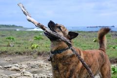 Revelling 1 (Bob Hawley) Tags: nikond7100 nikon2870mmf3545afd asia taiwan pingtung hengchunpeninsula jiupeng coast seaside grass dogs pets playing sticks formosanmountaindogs taiwantugou brown rocks