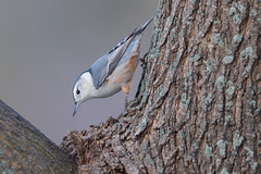 white-breasted nuthatch (captured views) Tags: nuthatch capturedviews capturingthelivinglandscape nature bird whitebreastednuthatch coth coth5