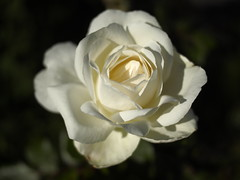 White Autumn Roses (Mel_is_Moving) Tags: bradford epl6 olympus pen outside flowers outdoor uk leaves white westyorkshire