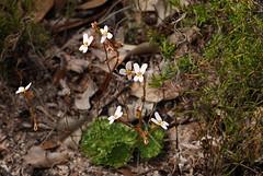 Stylidium vinosum (jeans_Photos) Tags: stylidiaceae stylidiumvinosum p1 white stylidium 2008 anvilblock julimar westernaustralia