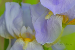 Floral abstraction (avnz101) Tags: flower flowers macro iris nature coth alittlebeauty coth5