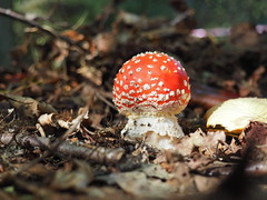 It's begining to look a lot like Autumn. (Flyingpast) Tags: flyagaric toadstool mushroom fungi shroom autumn uk nature red white spots macro outdoors bbcautumnwatch woods leaves twigs light sunlight woodland leaf