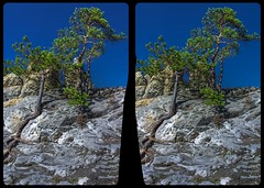 Survival experts 3-D / CrossEye / Stereoscopy / HDRaw (Stereotron) Tags: sachsenanhalt saxonyanhalt ostfalen harz mountains gebirge ostfalia hardt hart hercynia harzgau teufelsmauer hamburgerwappen landschaft landscape rock felsen sandstein baum tree wurzel roots karg cross eye view xview crosseye pair free sidebyside sbs kreuzblick bildpaar 3d photo image stereo spatial stereophoto stereophotography stereoscopic stereoscopy stereotron threedimensional stereoview stereophotomaker photography picture raumbild europe germany deutschland twin canon eos 550d kitlens 1855mm 100v10f tonemapping hdr hdri raw