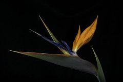 Lit Up Bird Of Paradise Flower (Bill Gracey 20 Million Views) Tags: birdofparadise fleur flower flor homestudio macrolens floralphotography offcameraflash tabletopphotography color colorful roguegrid backlit backlighting blackbackground lakeside glow glowing