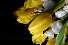 Disperati tentativi di rianimazione (encantadissima) Tags: tulipani macro fiori